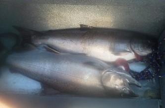 Trinity_River_Salmon